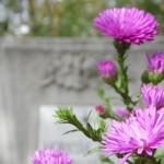 Lila virág egy síron